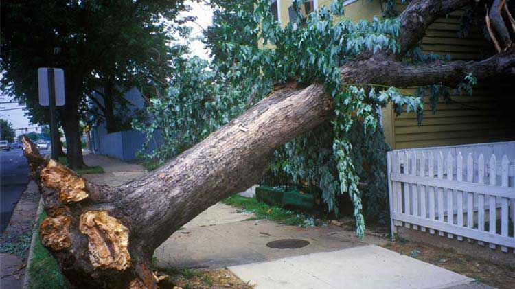 Uprooted tree that fell across a sidewalk