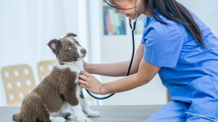 Female veterinarian listening to the heartbeat of a puppy.