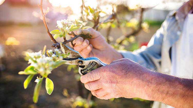 A pair of hands pruning a bush
