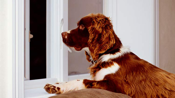 Dog looking out window during quiet time.