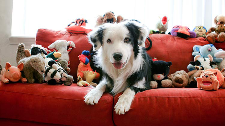 A pet dog is laying on a couch surrounded by dog toys