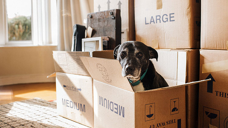 A dog is sitting in a moving box